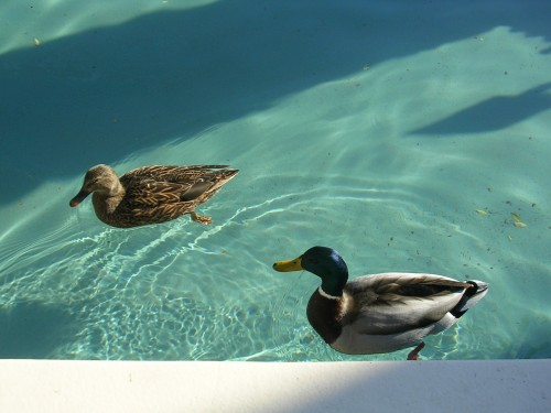 There were ducks in the pool! So cute :)