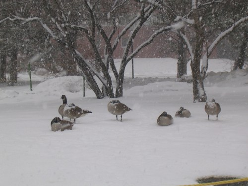 Geese in a snowstorm